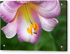 Pink Perfection (lilium Regale) Acrylic Print by Anna Yu