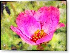 Pink Portulaca Acrylic Print by Judi Bagwell