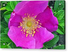 Acrylic Print featuring the photograph Pink Portulaca by Tikvah's Hope