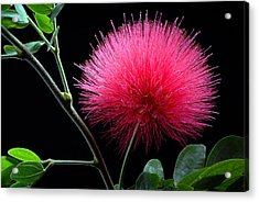 Pink Powder Puff Flower Acrylic Print by Dung Ma