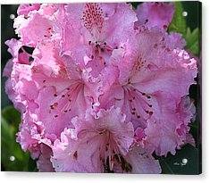 Pink Rhododendrons Acrylic Print