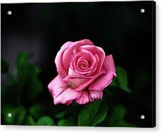 Pink Rose Acrylic Print by Annfrau