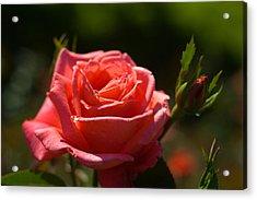 Pink Rose Acrylic Print by Benjamin Clark