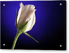 Pink Rose Bud Blue Background Acrylic Print by M K  Miller