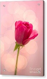 Pink Rose Bud Bokeh Acrylic Print