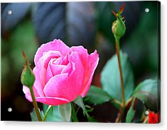 Acrylic Print featuring the photograph Pink Rose by Janice Adomeit
