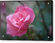 Pink Rose Acrylic Print by Kelly Rader