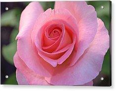 Pink Rose Acrylic Print by Naomi Berhane