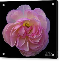 Pink Rose On Black Acrylic Print by Ursula Lawrence