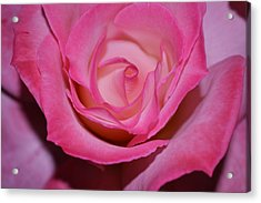 Pink Rose Acrylic Print by Saifon Anaya
