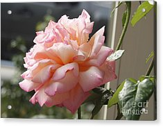 Acrylic Print featuring the photograph Pink Rose  by Yumi Johnson
