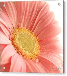 Pink Sherbert Blossom Acrylic Print