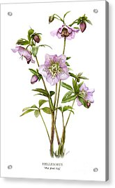 Pink Spotted Lady Hellebores Acrylic Print by Artellus Artworks