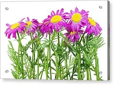 Pink Spring Daisies Border Acrylic Print