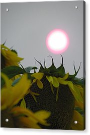 Pink Sun Setting Over Sunflower Field Acrylic Print