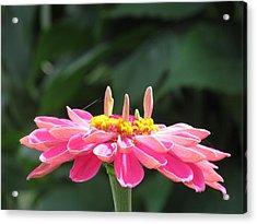 Pink  Taffy Acrylic Print