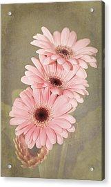 Pink  Textured Gerbras Acrylic Print by Fiona Messenger