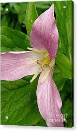Pink Trillium Acrylic Print by Frank Townsley
