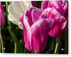 Acrylic Print featuring the photograph Pink Tulip by David Gleeson