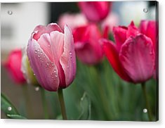 Pink Tulips With Water Drops Acrylic Print