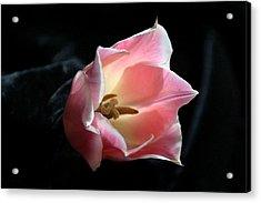 Pink Tulip Acrylic Print by Monika A Leon