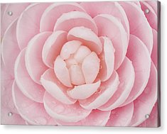 Pink Up Close And Personal Acrylic Print by Rich Franco