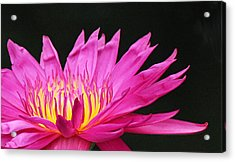 Pink Water Lily Acrylic Print by Becky Lodes