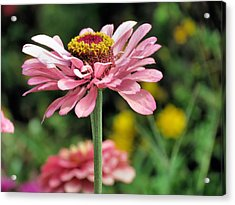 Pink Zinnia Acrylic Print by Janice Drew