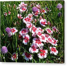 Pinks In The Clover Grass Acrylic Print by Jeanette Oberholtzer