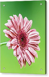Pinky On Lime Acrylic Print by Bill Tiepelman