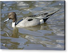Pintail Duck Acrylic Print by Marilyn Wilson