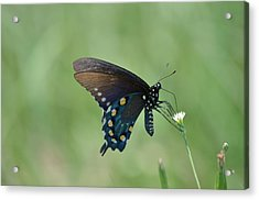 Pipevine Swallowtail Nectaring Acrylic Print by Kathy Gibbons