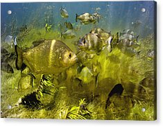 Piranhas Acrylic Print by Peter Scoones