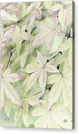 Pistachio Maple Acrylic Print by David Lade