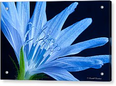 Acrylic Print featuring the photograph Pistil's Of Chicory by Randall Branham
