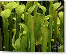 Pitcher Plants Acrylic Print by Bob Christopher
