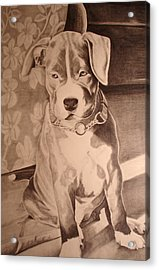 Pitty Pet Portrait Acrylic Print by Yvonne Scott