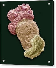 Planktonic Polyp, Sem Acrylic Print by Steve Gschmeissner