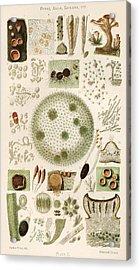 Plant And Fungi Microscopy, 19th Century Acrylic Print by