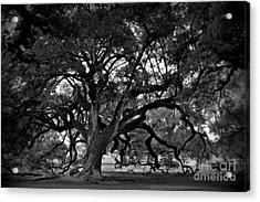 Plantation Oak Tree Acrylic Print by Perry Webster