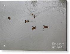 Playful Ducks Acrylic Print by Nick