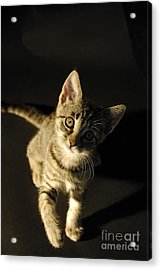 Playful Kitten Acrylic Print by Micah May