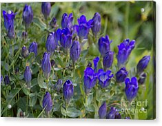Acrylic Print featuring the photograph Pleated Gentian Patch by Katie LaSalle-Lowery