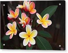 Acrylic Print featuring the photograph Plumaria Of Red And Yellow by Craig Wood