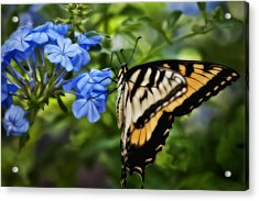 Plumbago And Swallowtail Acrylic Print by Steven Sparks