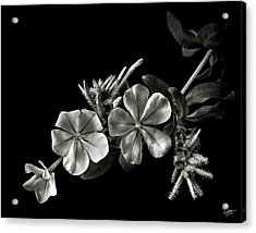 Plumbago In Black And White Acrylic Print