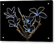 Plumeria Outlines B7072 Acrylic Print