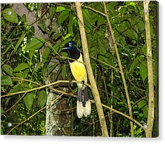 Acrylic Print featuring the photograph Plush-crested Jay by David Gleeson