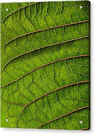 Poinsettia Leaf II Acrylic Print