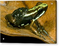 Poison Frog With Eggs Acrylic Print by Dante Fenolio